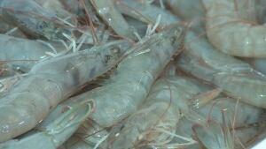 shrimp farm cocchio