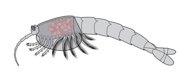 Waptia fieldensis