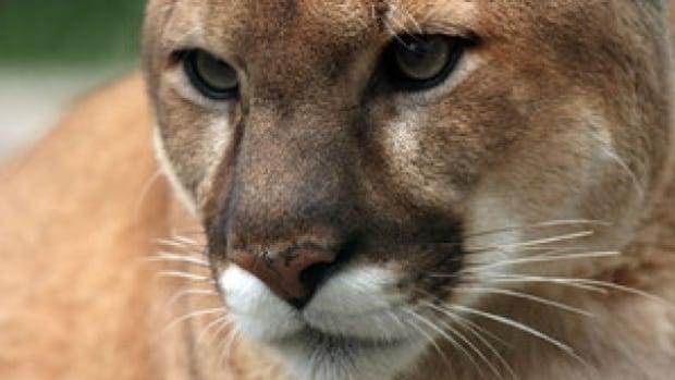 cougars crashes deer