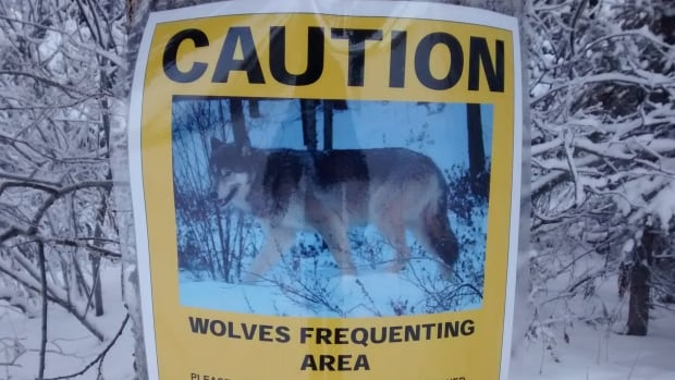 Conservation officers with Environment Yukon are warning Whitehorse residents to be on the lookout for wolves.