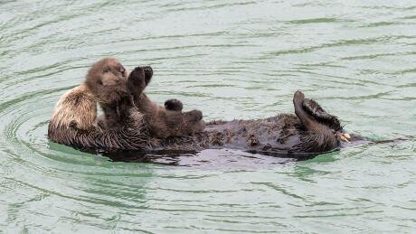 Sea Otter gives birth to newborn