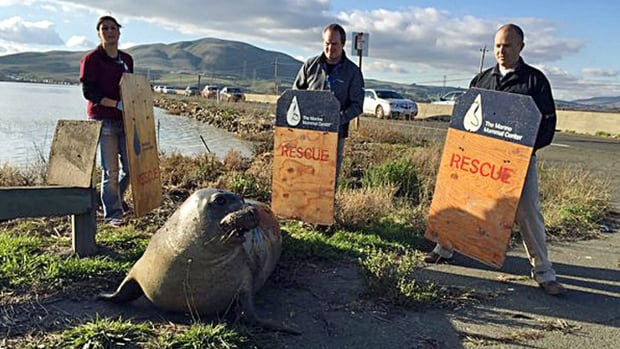 Wildlife experts from the Marine Mammal Center attempt to corral an elephant seal that repeatedly tried to cross a highway, slowing traffic in Sonoma, Calif., in this photo provided by the California Highway Patrol.