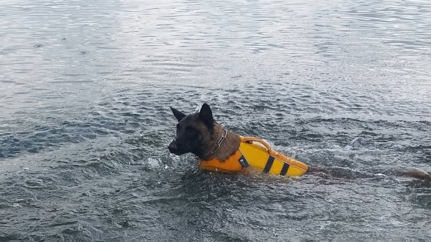 One of the Canadian Search and Disaster Dogs Association dogs searches for scents in the water. This exercise was prior to the La Ronge, Sask. search.