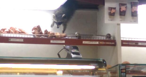 raccoon-doughnut-thief