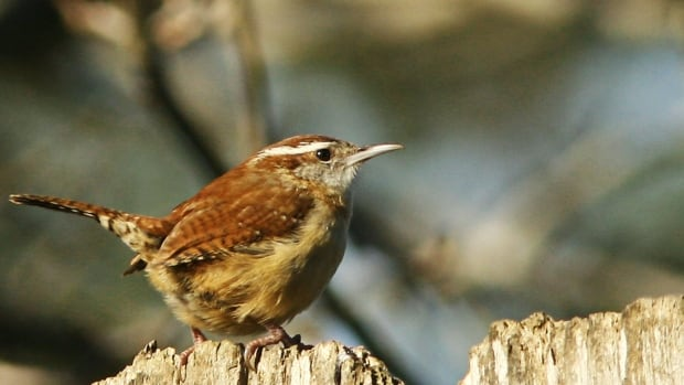 For the first time in more than 30 years not a single Carolina wren was spotted during the Point Pelee bird count.