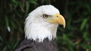 Eagle Gunther Golina