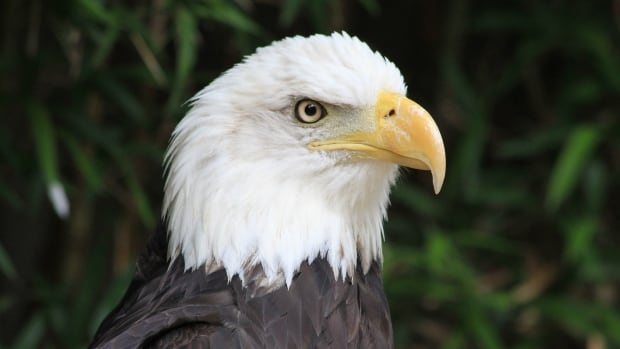 Gunther Golina has been rescuing and rehabilitating bald eagles in Prince Rupert for 35 years.