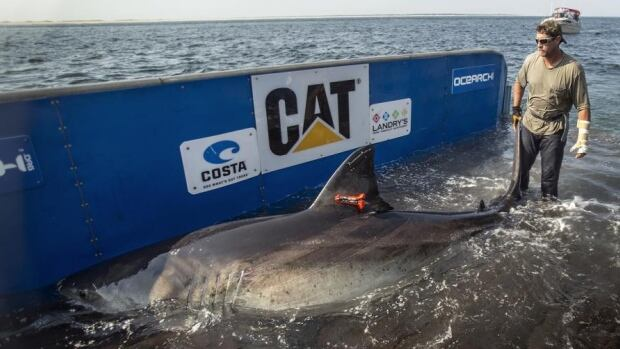 For the second time, a research group is tracking a tagged great white shark in the waters off Newfoundland. Katharine the shark weighs more than 2,300 pounds.