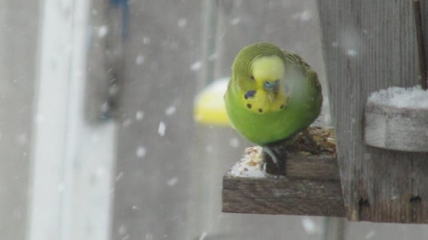 A budgie has been rescued after spending more than a month outside in the cold in Winnipeg.