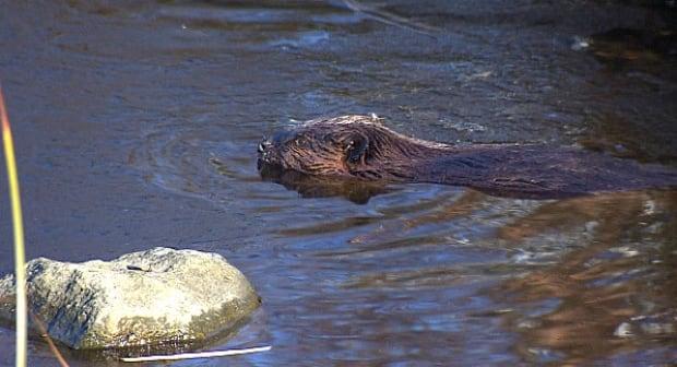 Olympic Village beaver 2015