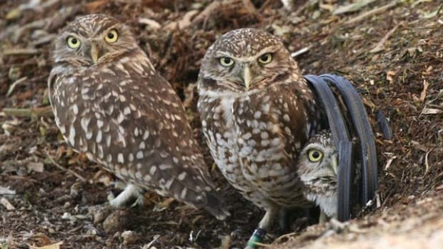 The Burrowing Owl Conservation Society of BC describes the owl as a short, fat, little bird on stilts, about the size of a pop can.