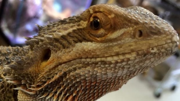Cook says bearded dragons are social pets that are one of the easiest reptiles to care for.