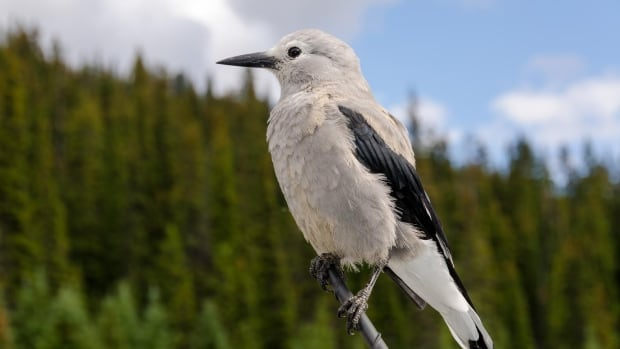 The Clark's nutcracker is a member of the Corvidae family. Closely related to jays and crows, the family is known to some of the smartest birds.