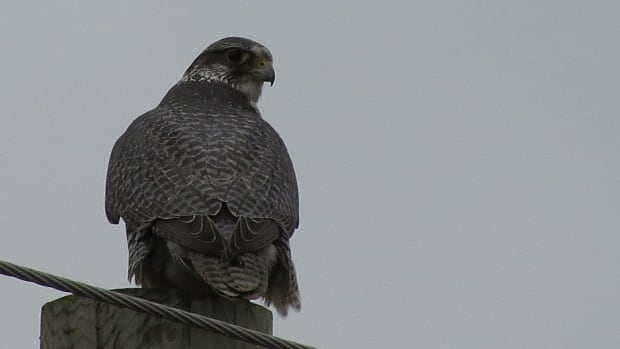 Karen Hass photographed this gyrfalcon in LaSalle, Ont. in late December.