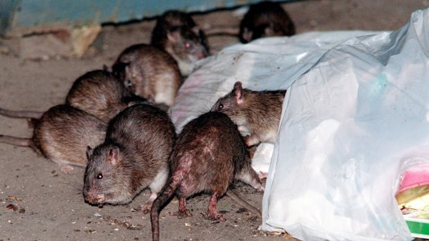 Experts say there's no end in sight to the boom in Vancouver's rat population.