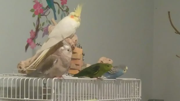 """Birds are an exotic pet and have really specific needs that other more regular pets, dogs and cats, don't have,"" said Megan Lewis, owner of the Too Crazy Birdy Hotel in Victoria."