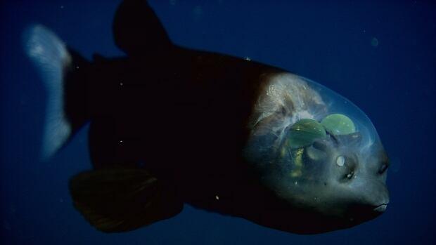 Barrel-eye fish