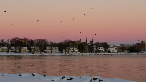 Crows coming in to roost over Victoria Park in Charlottetown.