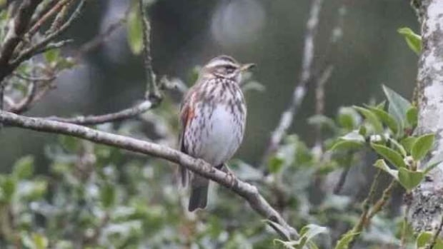 Daniel Dönnecke took this photograph of the redwing that has been spotted in Saanich.