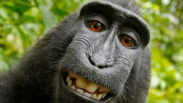 This 2011 photo provided by People for the Ethical Treatment of Animals (PETA) shows a selfie taken by a macaque monkey on the Indonesian island of Sulawesi with a camera that was positioned by British nature photographer David Slater. The photo was part of a court exhibit in a lawsuit filed by PETA in San Francisco last September.