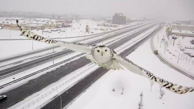 This curious snowy owl looks straight at Transport Quebec's traffic camera along Highway 40 at Sources Boulevard.