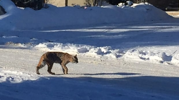 Janice Parker captured this image of a bobcat roaming the streets of Calgary's Britannia community on Jan. 8, 2016.