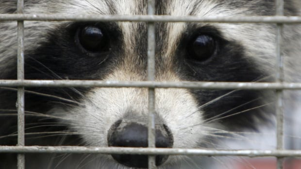 Ontario scrambled to put up a vaccine net after rabies was detected in raccoons.