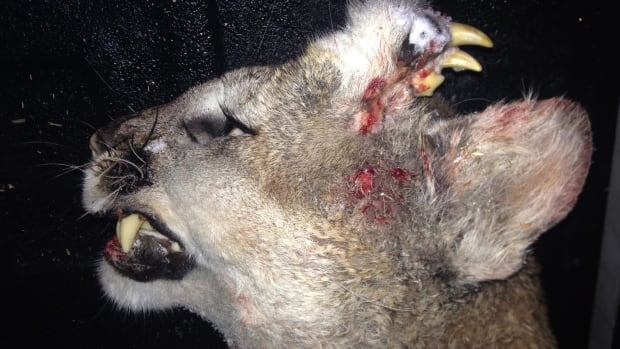 The cougar shot and killed on Dec. 30 had fully-formed teeth and what appears to be small whiskers were growing out of the left side of its forehead.