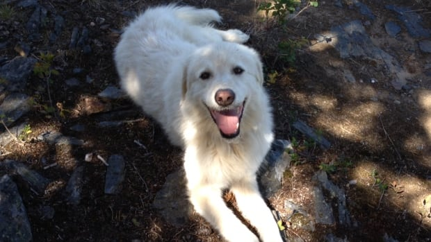 Gracie, 8, a Maremma sheepdog, was caught in a baited trap west of Barriere on Sunday.