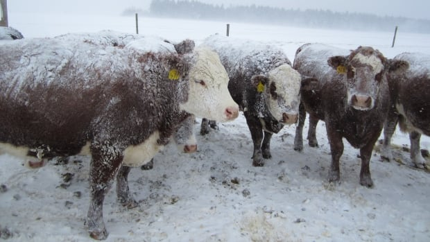 Some beef producers feel left out in the cold when it comes to the new farm-safety regulations passed as part of Bill 6, according to an industry group.