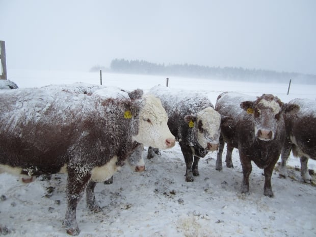 Beef cattle in Amherst