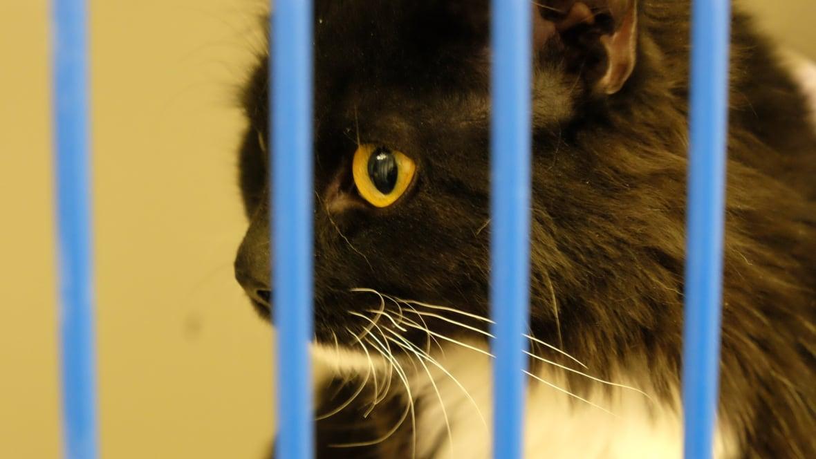Humane Society Winnipeg Cat