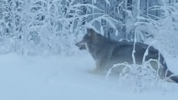 Doug Wiseman snapped a photo of a wolf he saw in the Vee Lake area, about 10 kilometres northeast of Yellowknife.