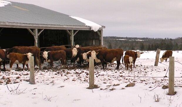 John Lister cattle
