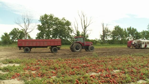 Tomatoes are harvested in Leamington, Ont. in this file photo. Leamington farmers will be supplying tomatoes for French's