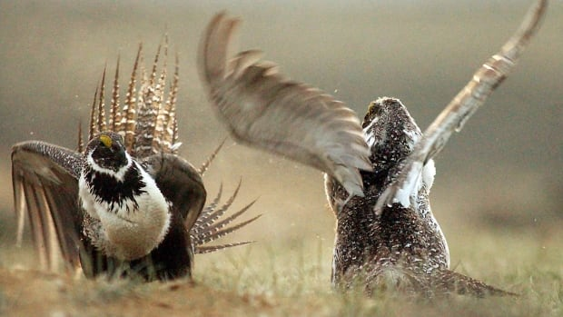 A male sage grouses fight for the attention of female in this file photo.