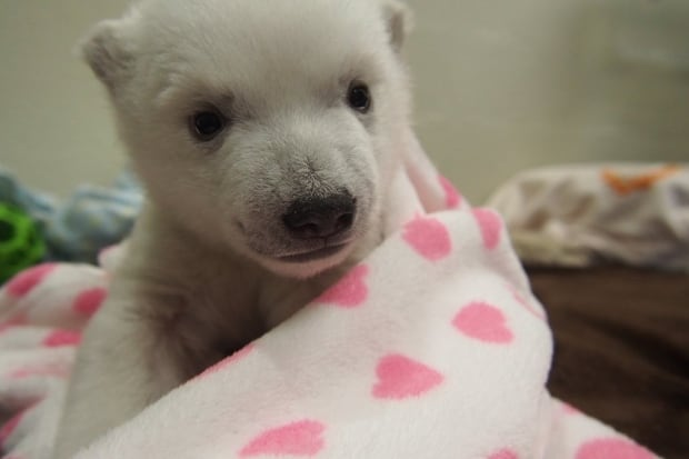toronto zoo polar bear cub two months old