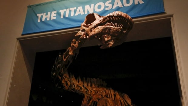 The skeleton cast of a titanosaur is seen during at the American Museum of Natural History in New York. The new 37-meter dinosaur skeleton is too long to fit in the fossil hall and so its neck and head will poke out toward the elevator banks, offering a surprise greeting when the lift doors open.