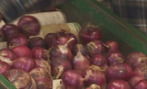 Onions at Ron Tamish's Rondriso Farms