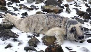 Malnourished seal