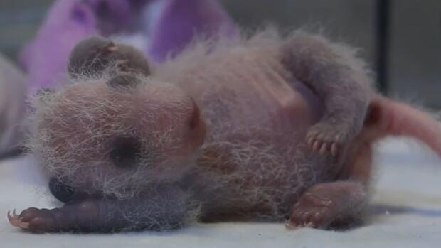 panda cub 11 days old