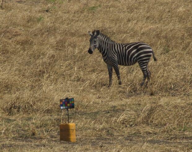 """Zebra in Tanzania with """"X-Rite ColorCheckerClassic"""" chart"""