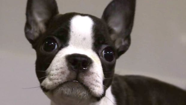 Purebred Boston Terrier puppy Micra told us that when she grows up, she wants to win Best in Show.
