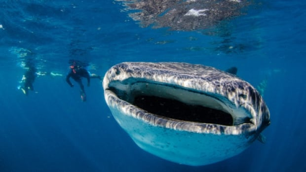The average whale shark weighs roughly 20 tonnes, and its mouth can be up to a metre and a half wide.