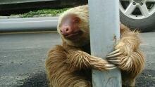 Ecuador sloth found on the highway on Jan 22 2016
