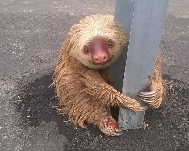 Ecuador highway sloth looked wet when it was found