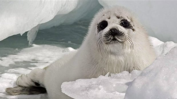 Fewer baby seals are being born this winter in the southern Gulf of St. Lawrence because of a lack of ice.