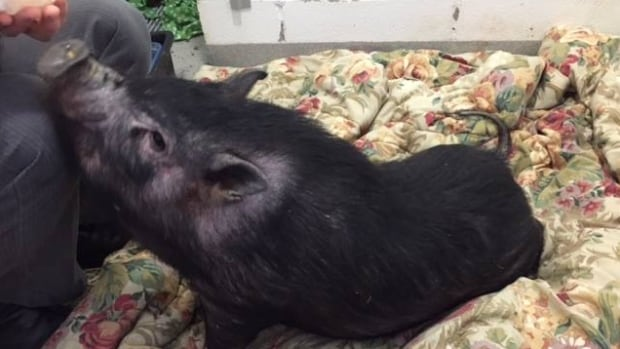 The Calgary Humane Society is hoping there's someone out there with a home and a heart for this potty-trained, belly-rub-loving pot-bellied pig.