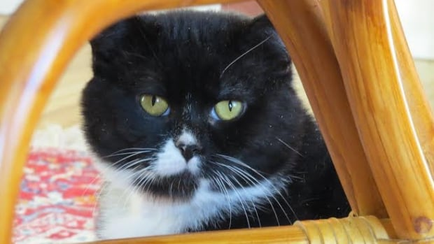 Oreo the cat was found on the streets of Penticton and has a rare combination of conditions seen in only 60 other known cats. Don't worry, though. His prognosis is purr-fect.