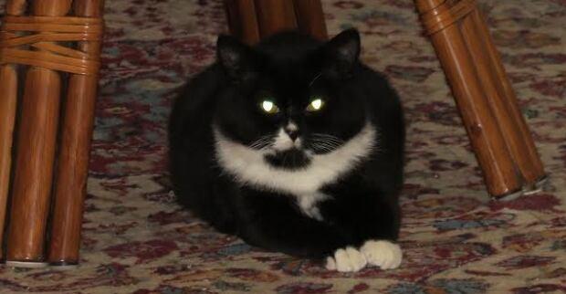 Oreo the cat 2